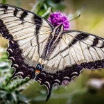 Shenandoah Butterfly by Greenwood