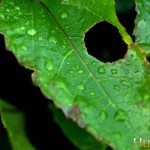 Hole-Leaf